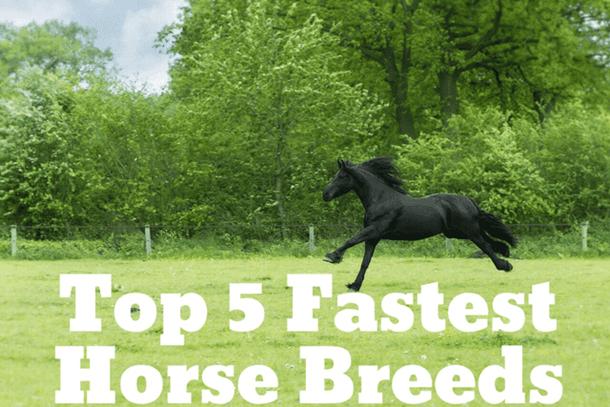 Thumbnail Five Fastest Horse Breeds