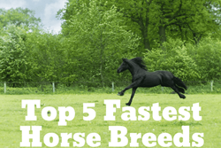 Thumbnail Five Fastest Horse Breeds