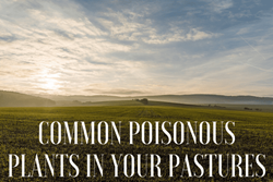Thumbnail Common Poisonous Plants in Pastures